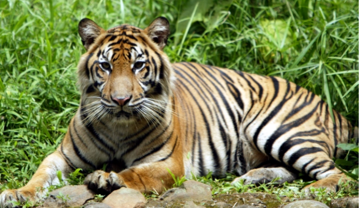 COVID-19 infects two Sumatran tigers in Indonesia zoo